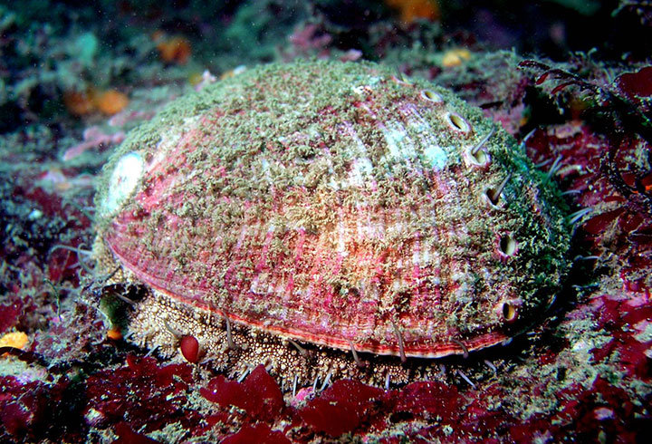 California abalone in the ocean