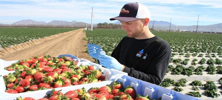 Student Scott Cosseboom collects botrytis from strawberries