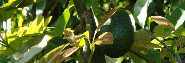 Picture Of An Avocado