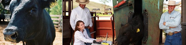 Photograph of bull and students working at the Beef Cattle Evaluation Center