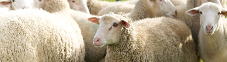 photograph of sheep
