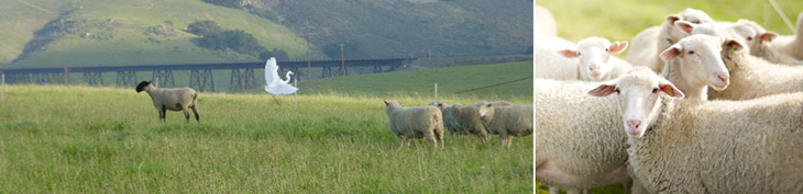 Photograph of sheep in a field