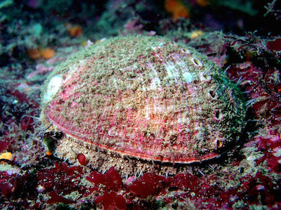 An Abalone with algae on it