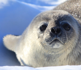 A Weddell seal pup