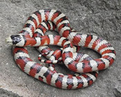 Red and white snake