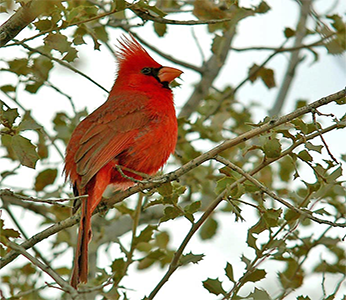 A cardinal sitting in a tree