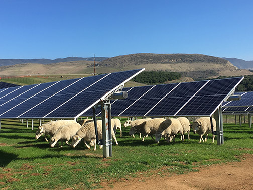 Photo of the Cal Poly solar farm with sheep running under some of the panels.