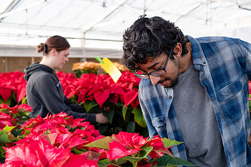 Students working with poinsettias for the annual Cal Poly Poinsettia Student Enterprise Project
