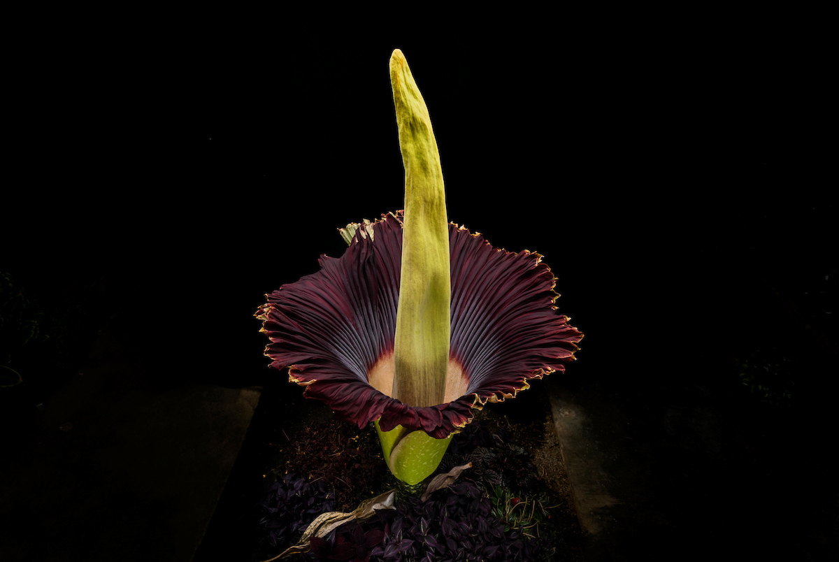 The Cal Poly corpse flower blooms at Cal Poly on July 10. Photo by University Photographer Joe Johnston.