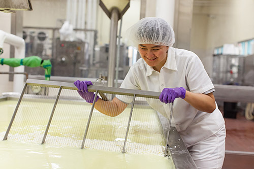 Photo of a female student in the process of cutting curd at the Cal Poly Creamery.