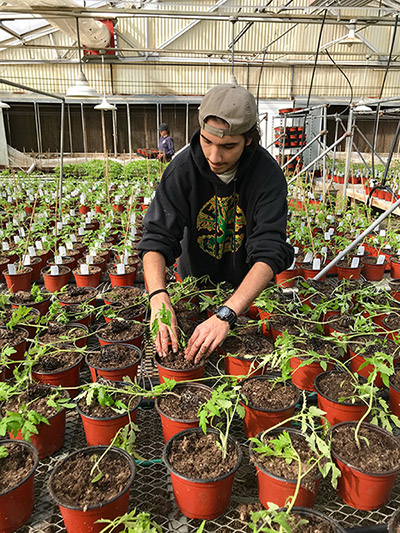 Photo of a male Cal Poly student tending to a tomato plant, with dozens of plants on tables around and behind him, at the Horticulture Unit on campus.