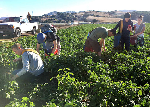 Students from the Cal Poly Honors Program helped harvest more than 1,000 pounds of bell peppers during a gleaning project at Talley Farms in Arroyo Grande.