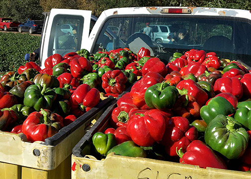 Bell peppers harvested from Talley Farms in Arroyo Grande by Cal Poly Honors Program students.