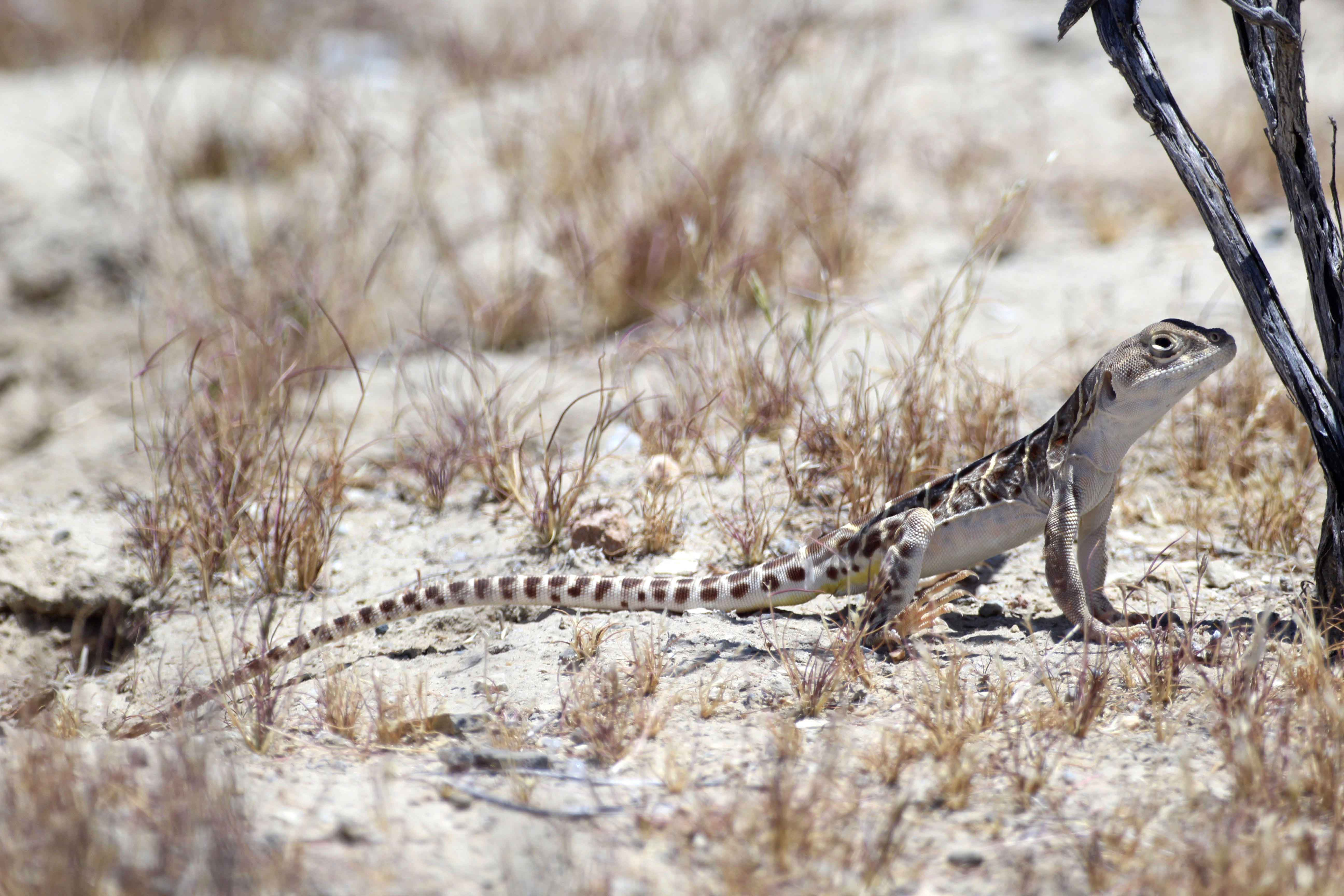 Photo of a blunt-nosed leopard lizard