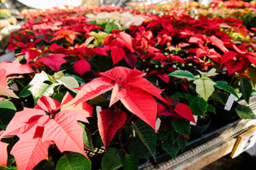 Photo of poinsettias. The annual holiday plant sale kicks off Dec. 1 and runs through mid-December at the Poly Plant Shop.