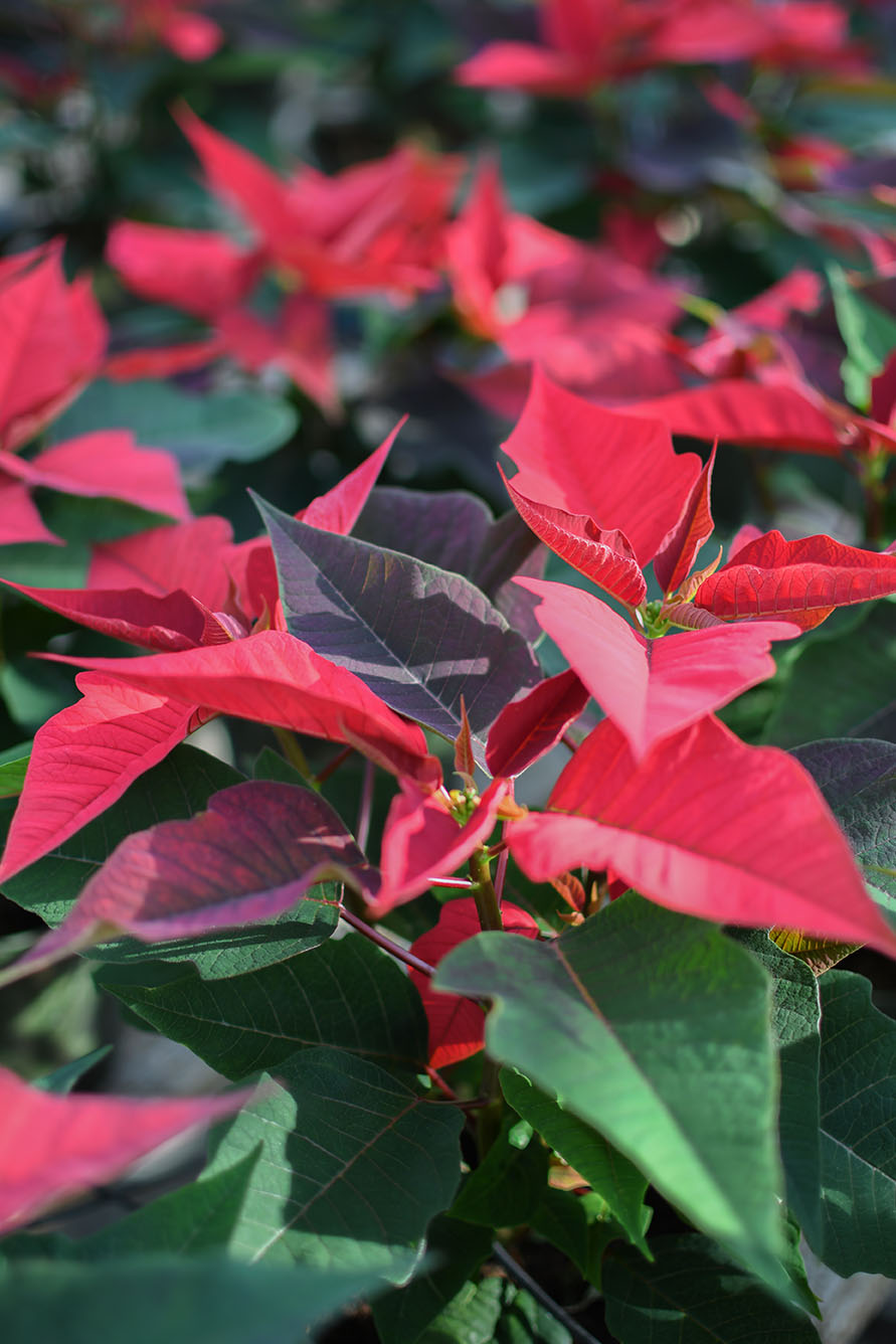 Photo of poinsettia plants