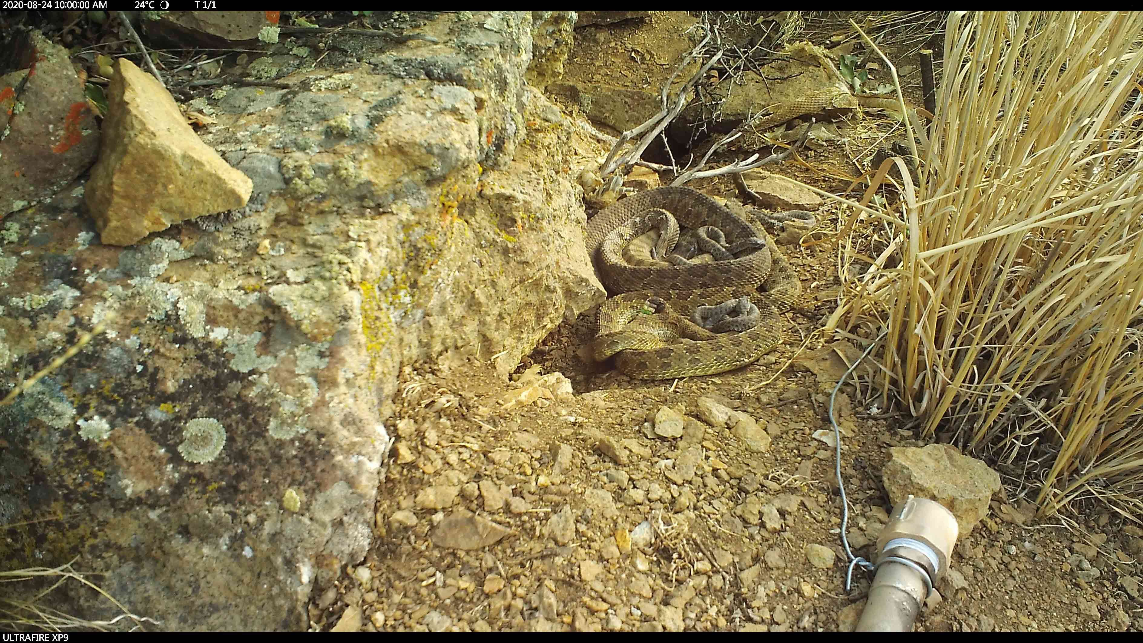 Much thinner after giving birth, the rattlesnake mothers bask with their pups.