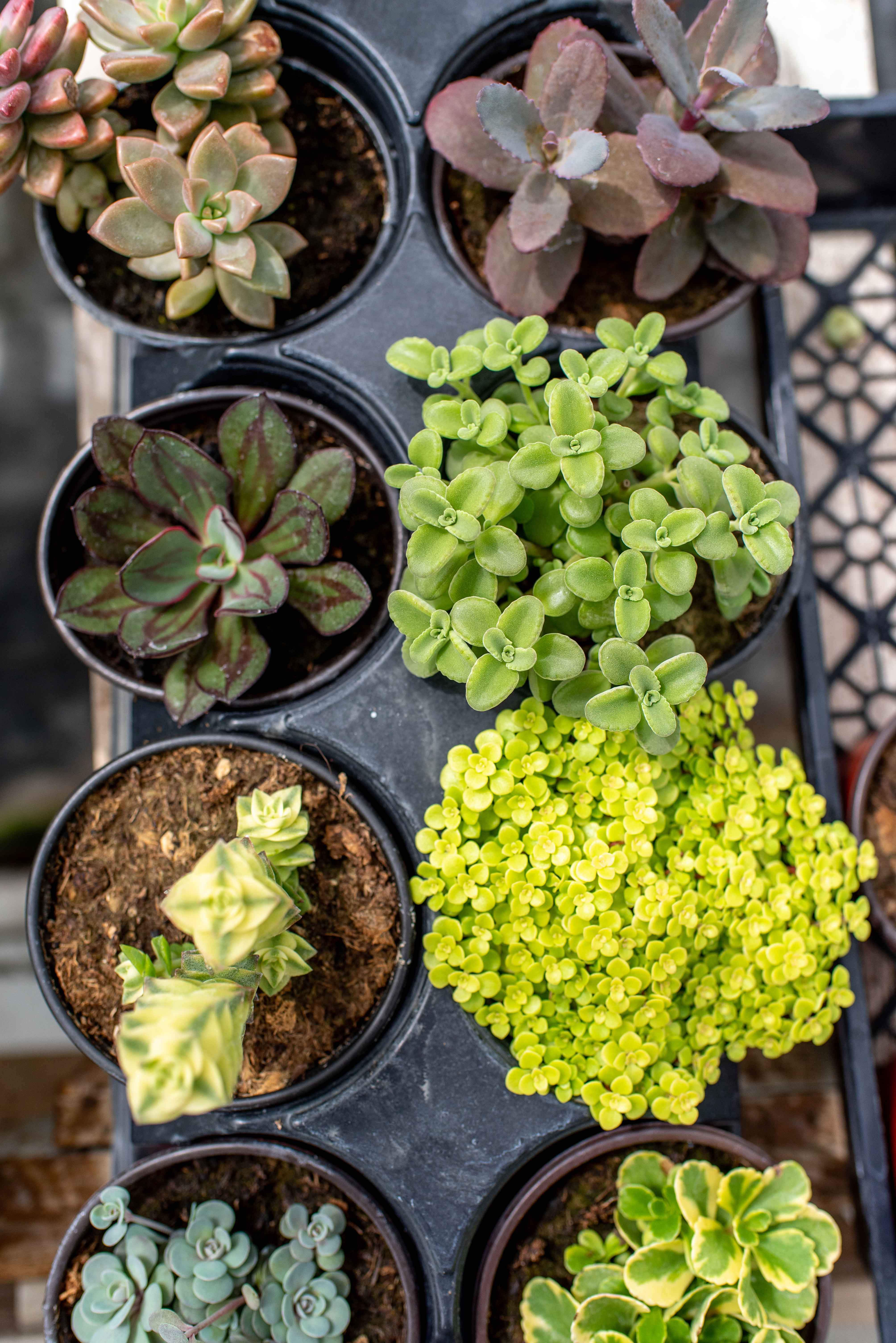 Photo of succulents for sale at Cal Poly's annual Succulentopia sale.