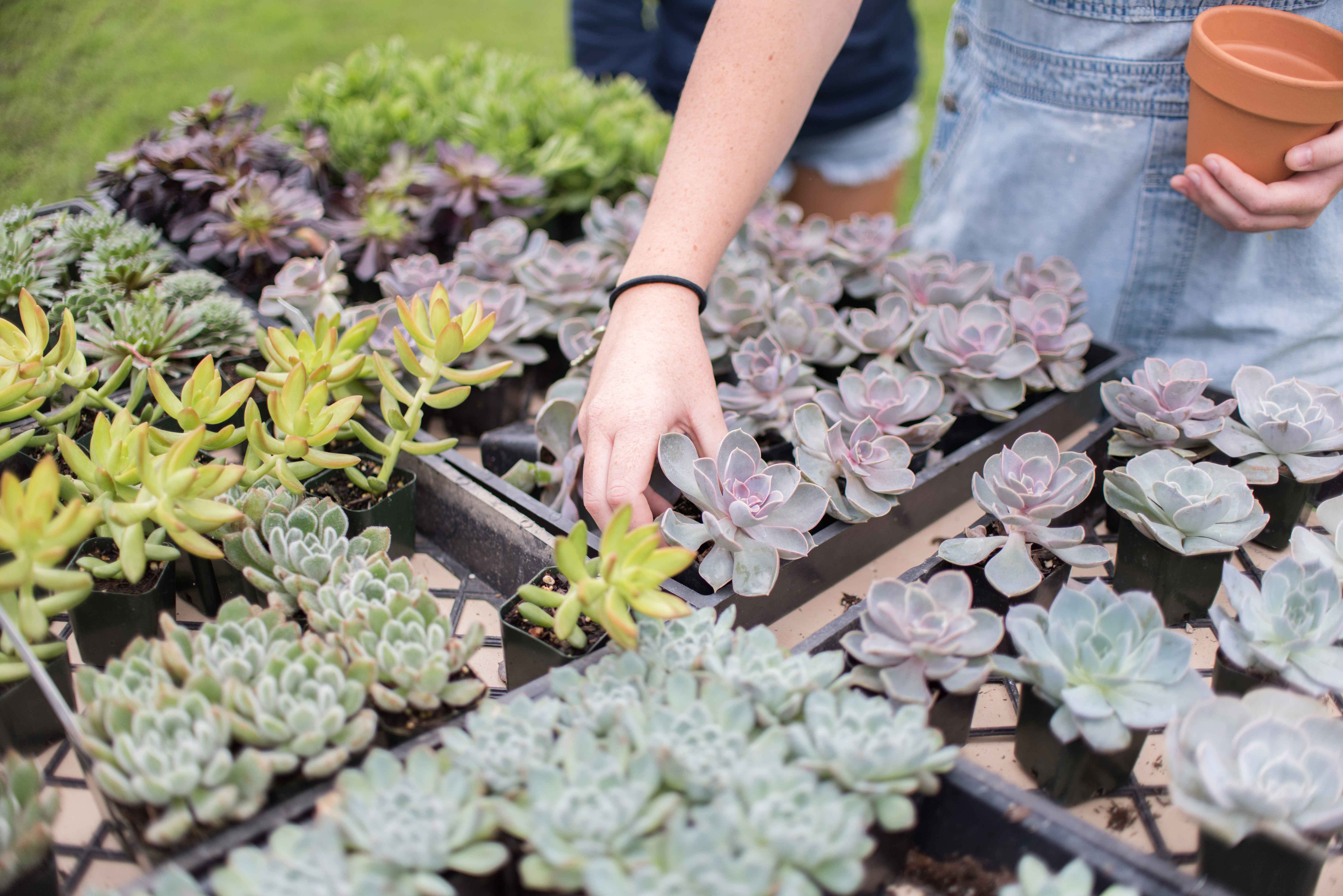 Student arranging succulent in planting tray