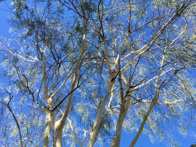 Canopy of a Palo blanco tree (Acacia willardiana)