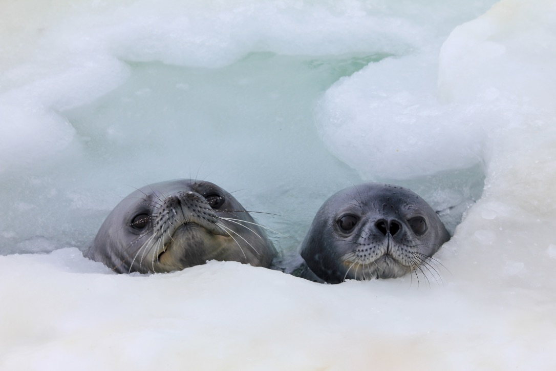 A young Weddell seal takes a break in a breathing hole during swimming lessons with its mother. Photo taken under NMFS permit 21006-01 and ACA permit 2018-013 M#1. Photo credit: Linnea Pearson