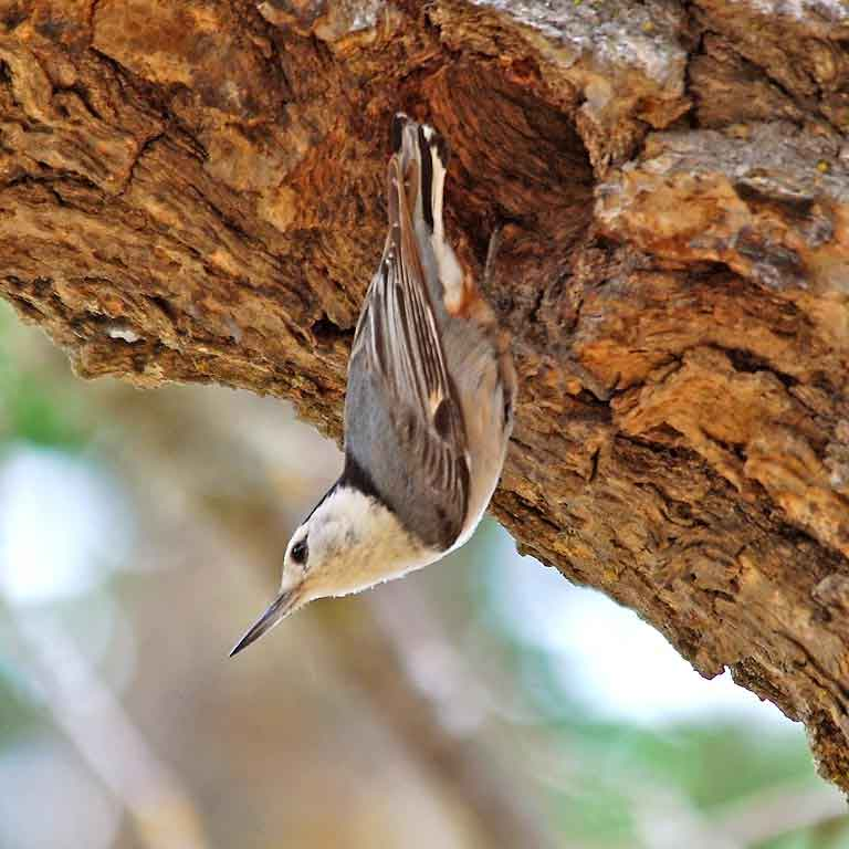 The white-breasted nuthatch has good dim light vision and advanced the timing of its nesting with light exposure.