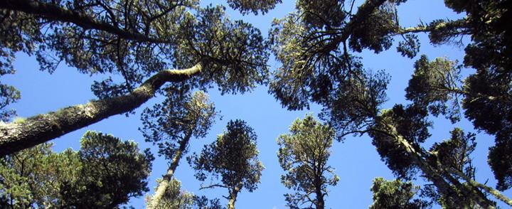 cambria trees