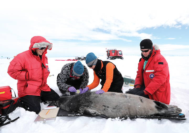 Cal Poly researchers attach a VHF radio tag to a Weddell seal pup in McMurdo Sound, Antarctica.