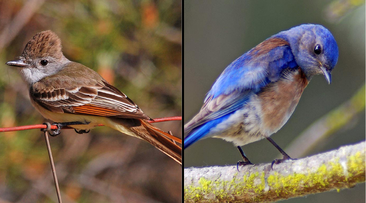 Left, an ash-throated flycatcher perches on a branch. Right, a western bluebird searches the ground from a perch. Images courtesy of Dave Keeling.