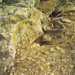 Rattlesnakes camouflaged in rocks and grass