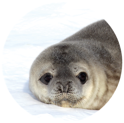 Fluffy baby seal with large black eyes.