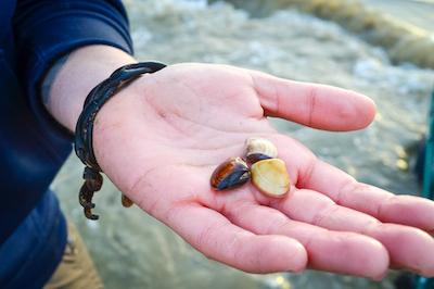 Ben Ruttenberg's hand holding 3 clams.