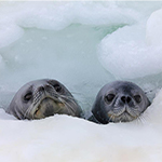 Two Weddell seal pups staying afloat in their icy habitat.