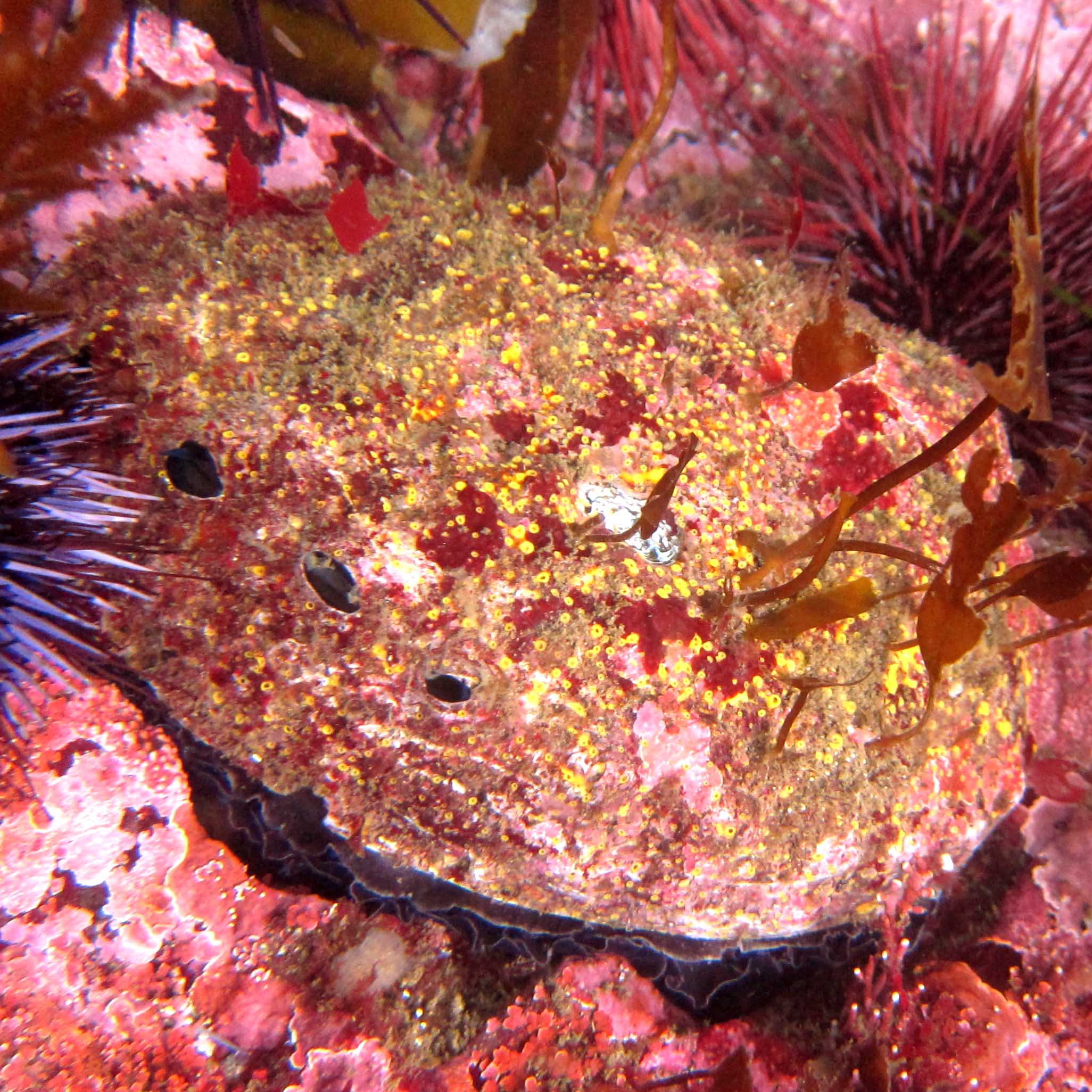 Image. Red abalone.