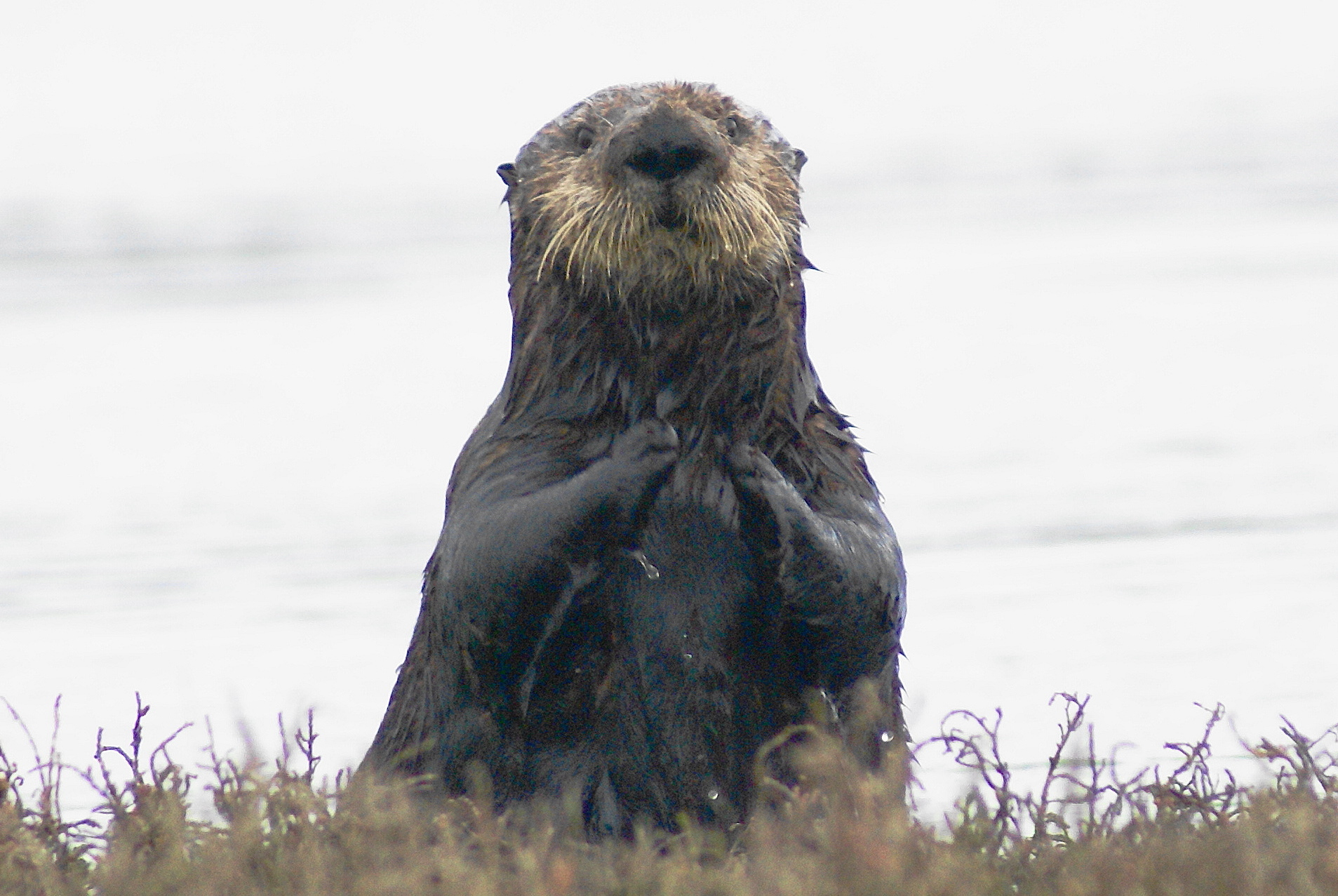 California could triple the southern sea otter population by recolonizing San Francisco Bay.