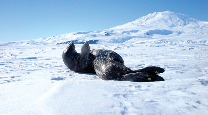 Gray seal with white spots lying on an ice sheet with its front flipper raised. The seal has a yellow tag on its rear flipper.