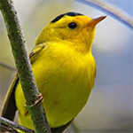 A yellow bird on a branch.