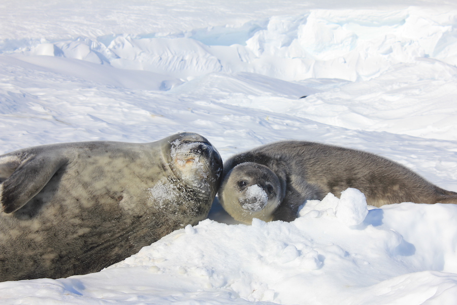 2 Weddell Seal Pups in the snow