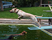 Dog Diving in Pool