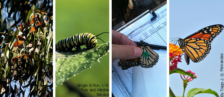 Monarch Butterflies in a tree, a larvae, a tagged monarch, and another picture of a monarch butterfly.