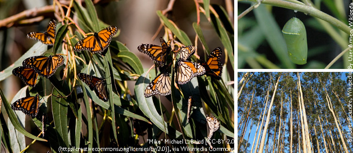 Monarch butterflies in an eucalpytus tree, a chrysalis, and an eucalyptus grove