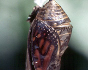 A late stage chrysalis