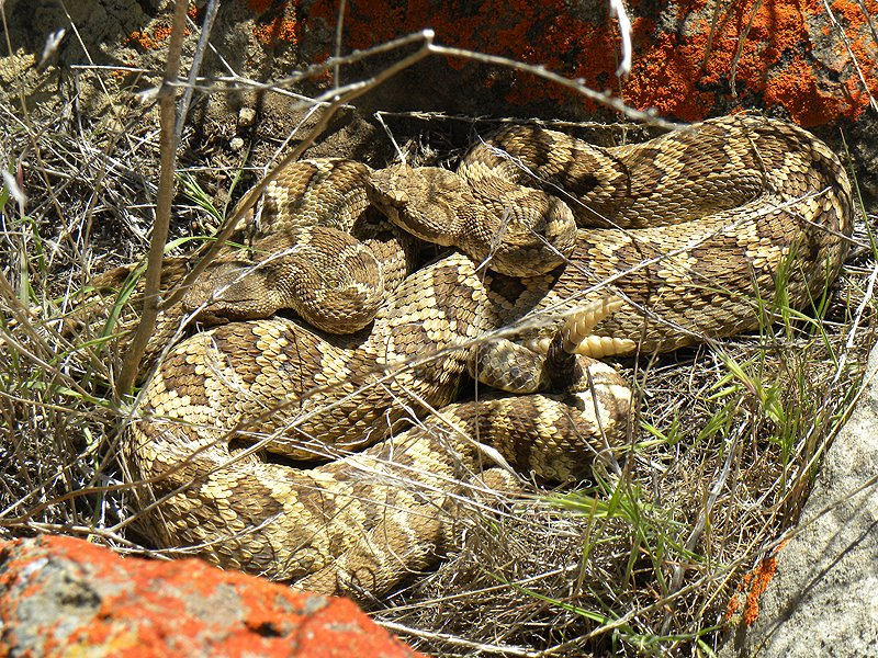 Rattlesnakes Courting