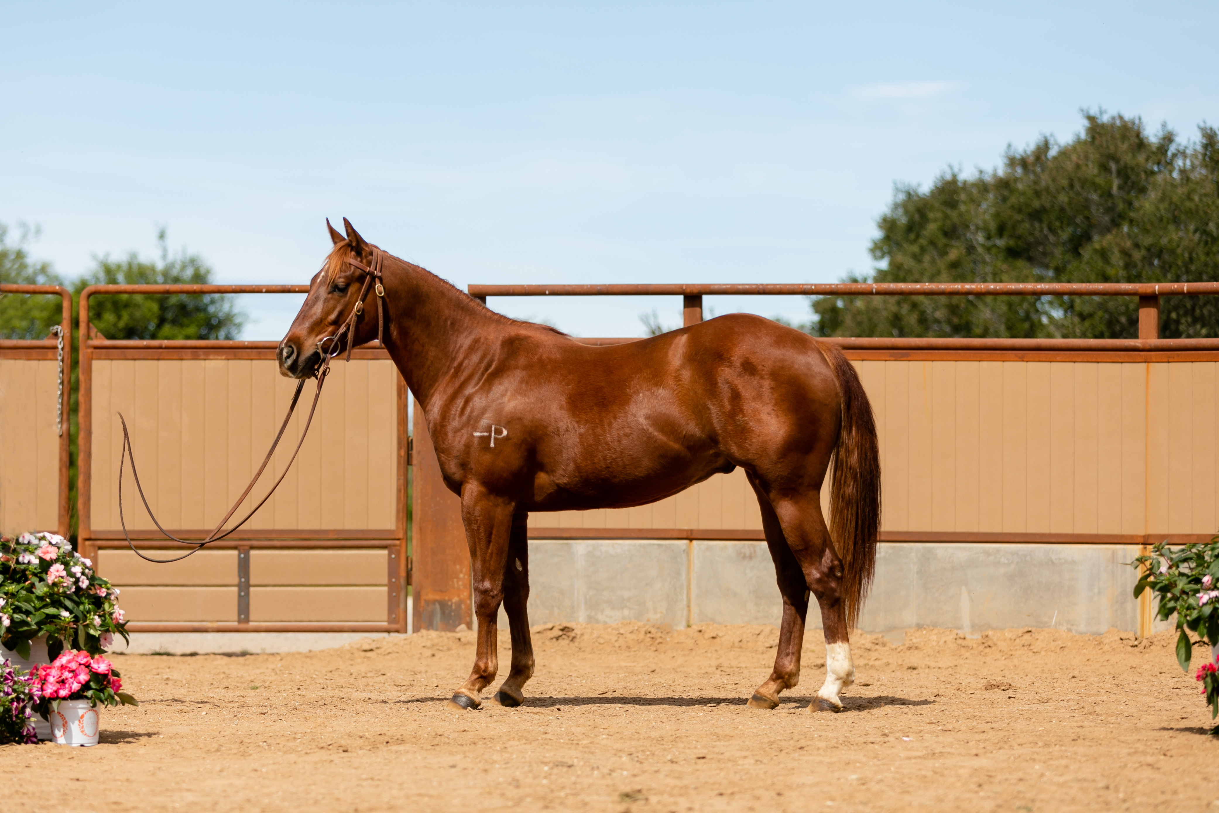 Cp Hesa Swanky Cat Performance Horse Sales Cal Poly