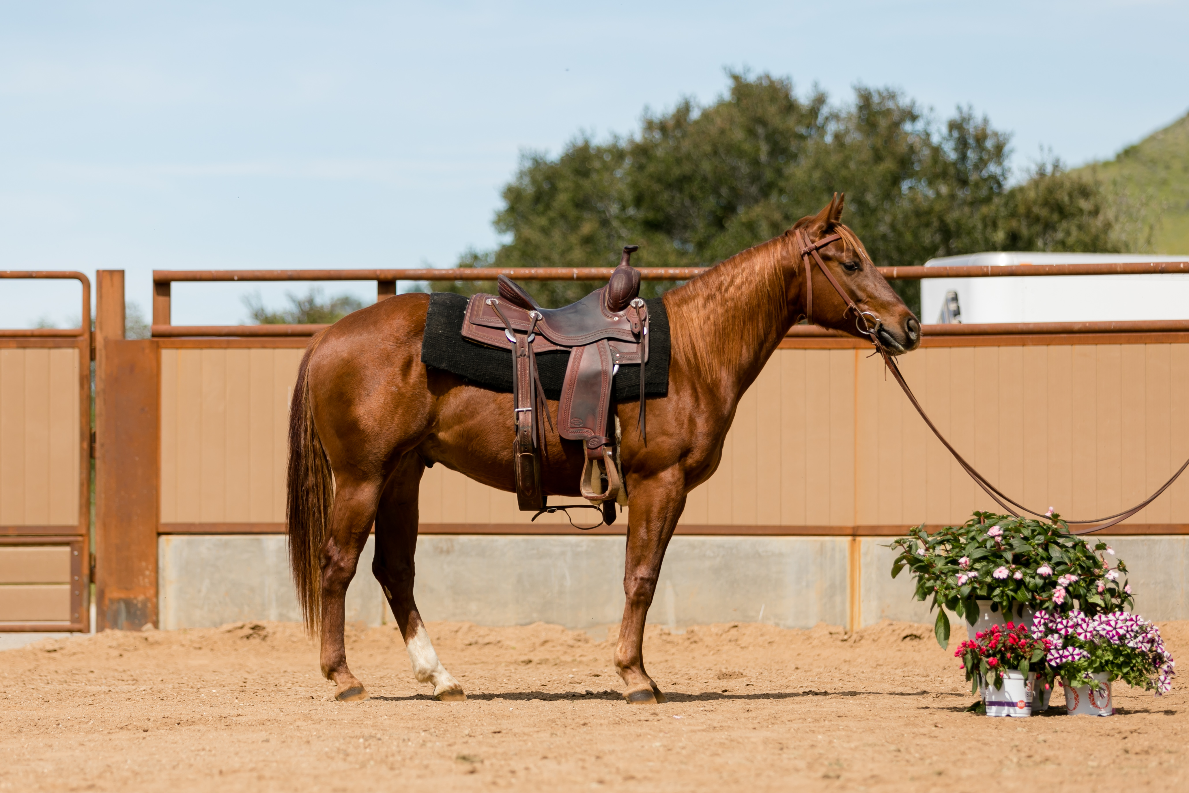 Sale Horses Performance Horse Sales Cal Poly San Luis