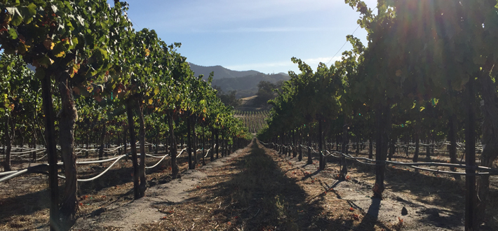 Vineyard rows during drought